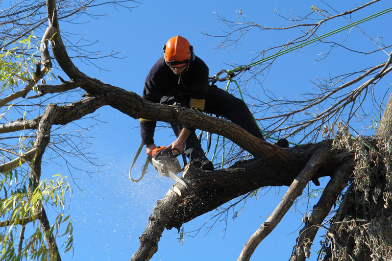 The Importance of Tree Maintenance and Trimming - Especially in Dry Urban Areas