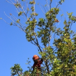 tree trimming services LA