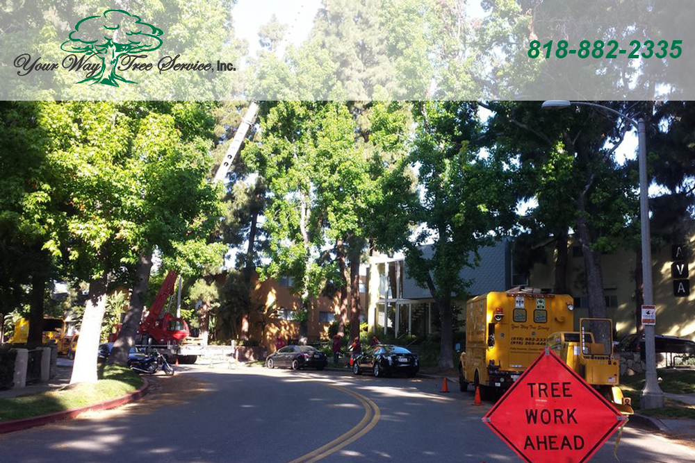 Get Healthier, Better Looking Trees with Tree Trimming in Bel Air