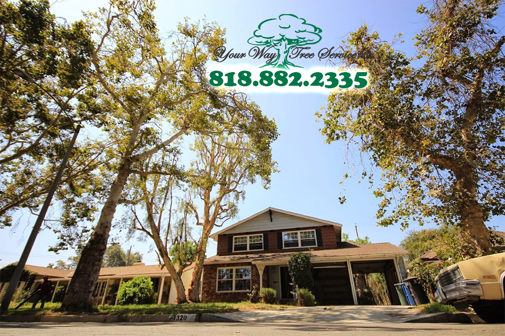 Tree Trimming in Agoura Hills