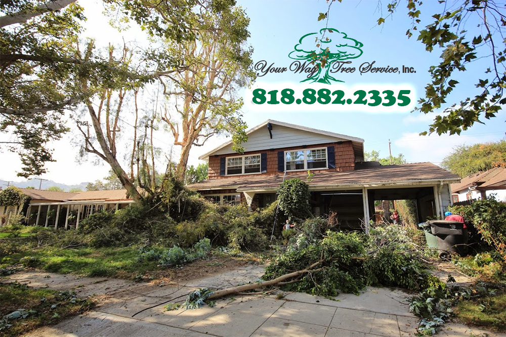 When to Call a Tree Service in Calabasas