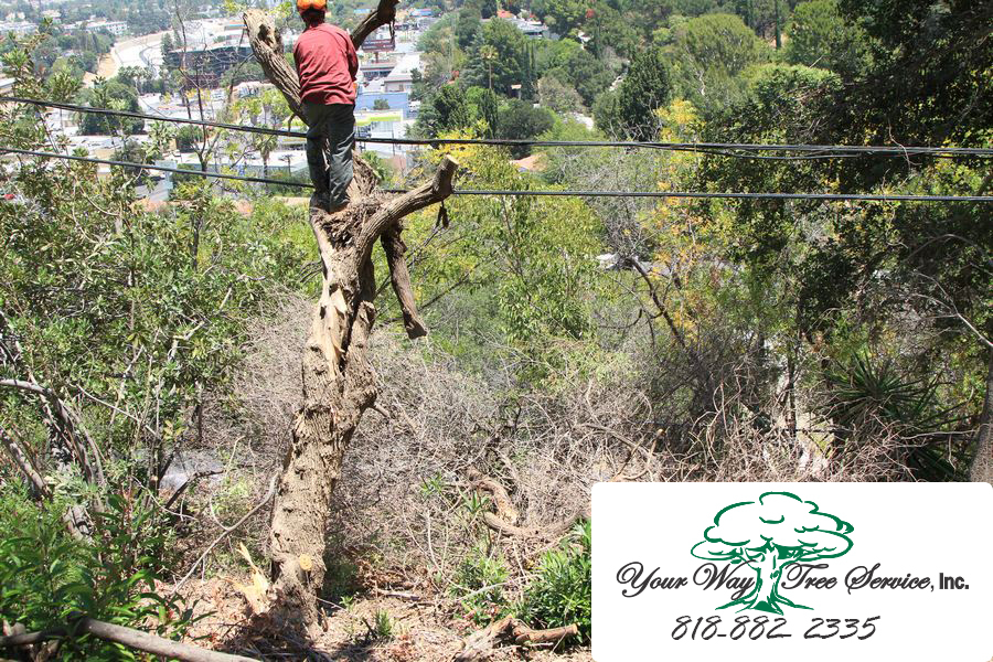 Does Your Home Need Tree Removal in Calabasas?