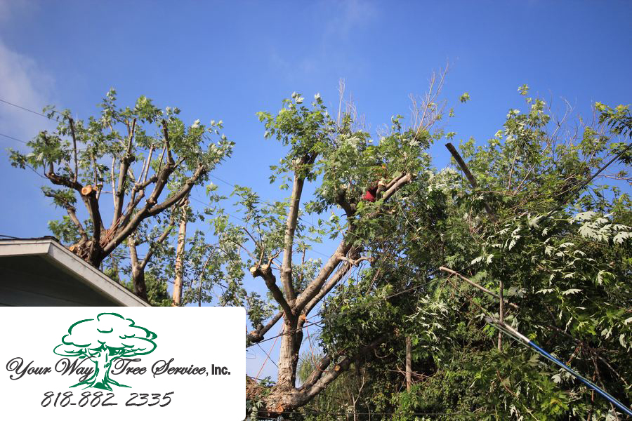 Tree Trimming in Brentwood to Protect Your Home