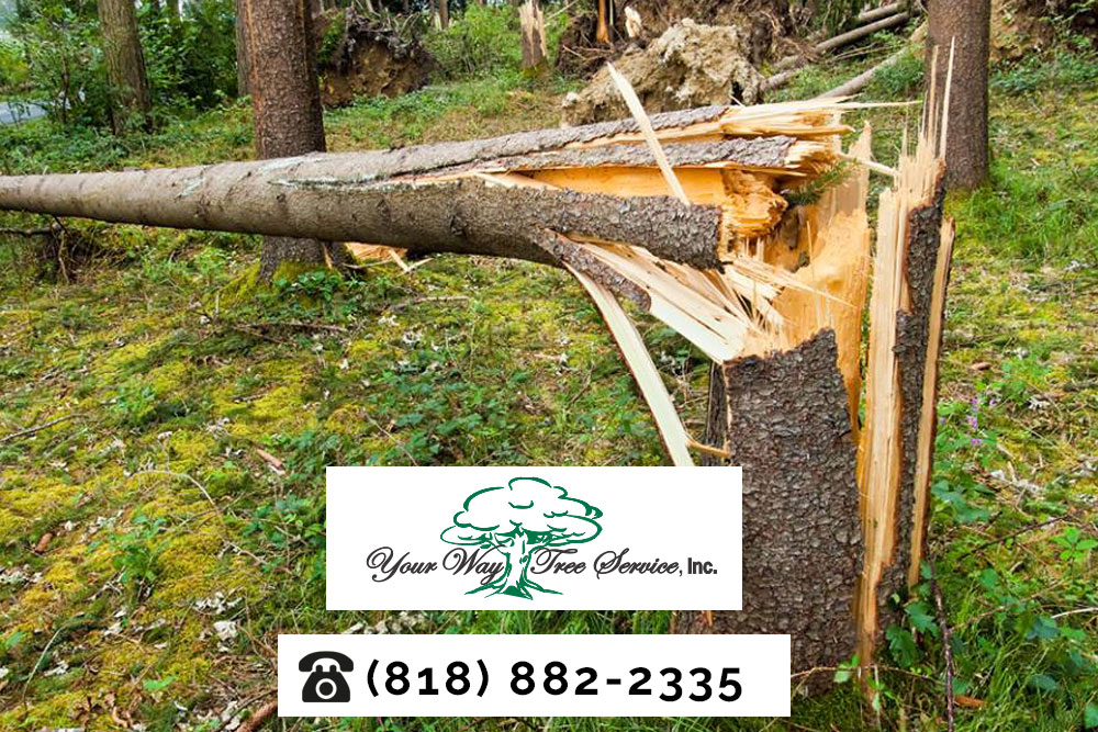 Look for a Licensed Tree Service in Beverly Hills