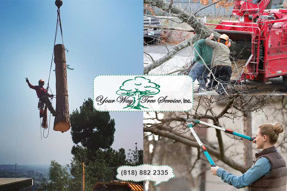 Safe Tree Trimming in Beverly Hills is Done by Professionals