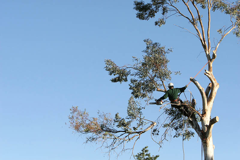 a Tree Removal in Northridge