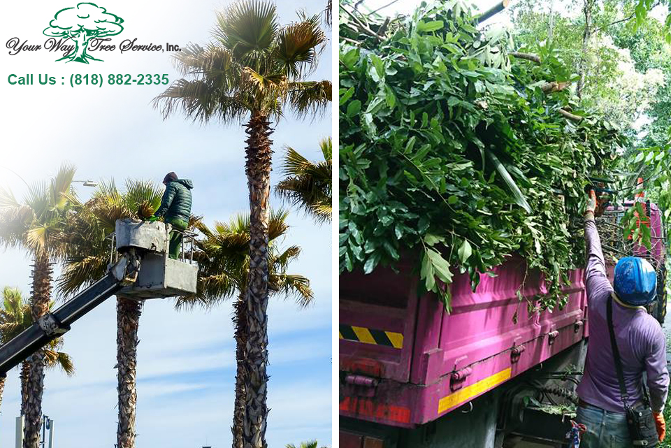 Tree Trimming in Los Angeles